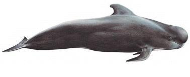 zoologie zoology cryptozoologie Nick Flippence Margaret juillet 2011 Aberdeen Royaume Uni Angleterre cétacé dauphin Bridge Of Don Mark Simmonds Rob Deville globicéphale noir globicephala noir