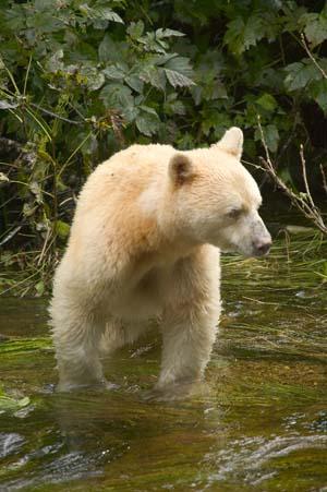 zoologie zoology ours kermode ours esprit colombie britannique canada amérique du nord Ursus americanus kermodei ours noir ours blanc animal menacé danger ursidé plantigrade