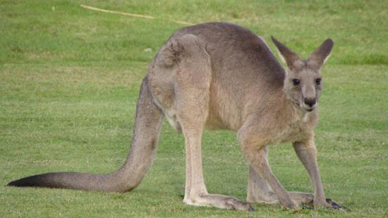 Un kangourou attaque une Australienne de 94 ans