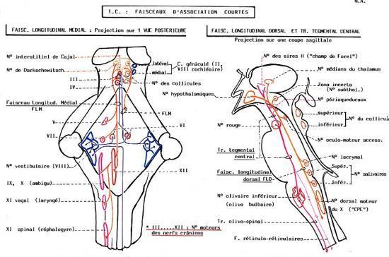 Tronc cérébral : T.C.