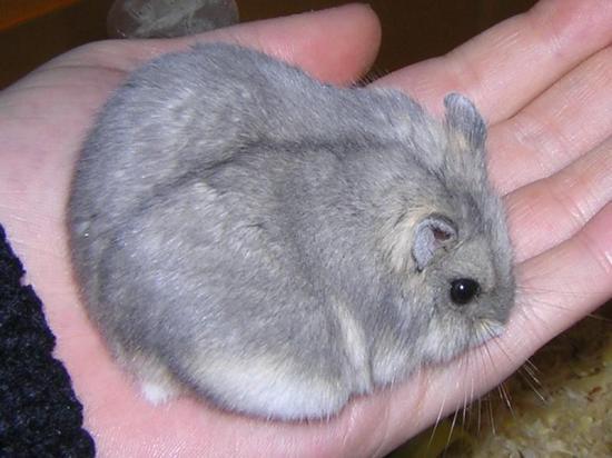 le plus gros sexe du monde hamster sexuel