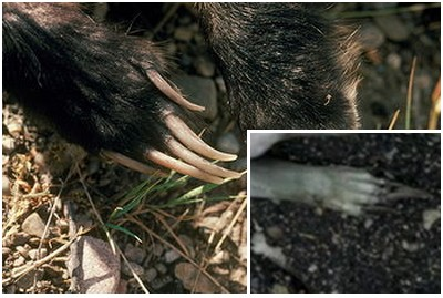 cryptozoologie cryptozoology Ksax créature non identifiée blaireau américain taxidea taxus chupacabra gale aout 2011 Minnesota Etats Unis Comté de Douglas USA