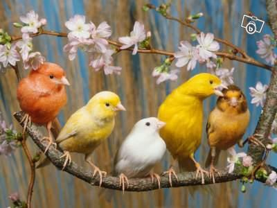 Groupe de 5 canaris de couleur orange, jaune pâle, blanc, jaune vif et jaune-brun.