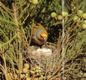 Serin des Canaries femelle posé sur nid