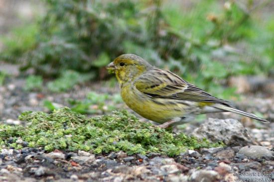 Serin des Canaries posé au sol, mousse dans le bec.