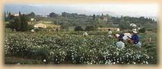 La fête du jasmin avec chars et corso fleuris, au début du mois d'Août, marque la première cueillette