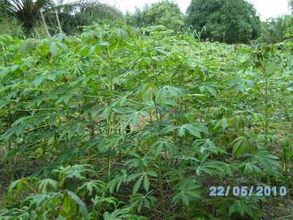 champ de manioc