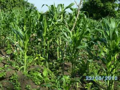 champ d'igname et de maïs