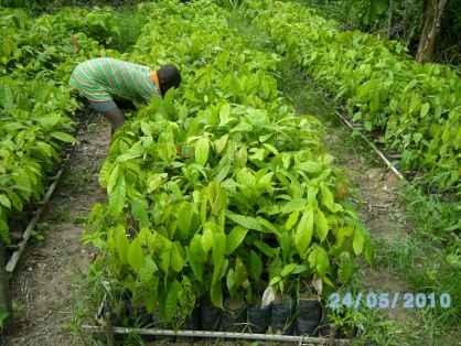 pépinière de cacao