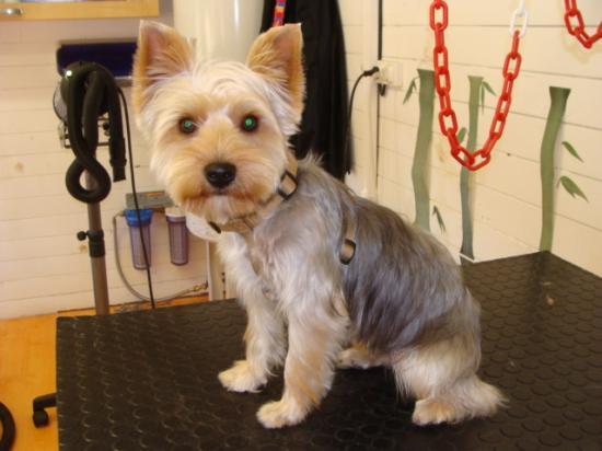Differentes coupes de toilettage - Modele de coupe pour yorkshire terrier ...