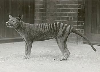 cryptozoologie cryptozoology Benjamin zoo Hobart Australie disparition 1936 thylacinus cynocephalus loup marsupial tassie tiger tigre de Tasmanie thylacine accusation injustifiée
