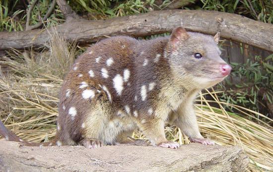 cryptozoologie cryptozoology Australie Tasmanie chat marsupial à queue tachetée dasyure tigre Dasyurus maculatus espèce menacée vulnérable thylacine accusation injustifiée