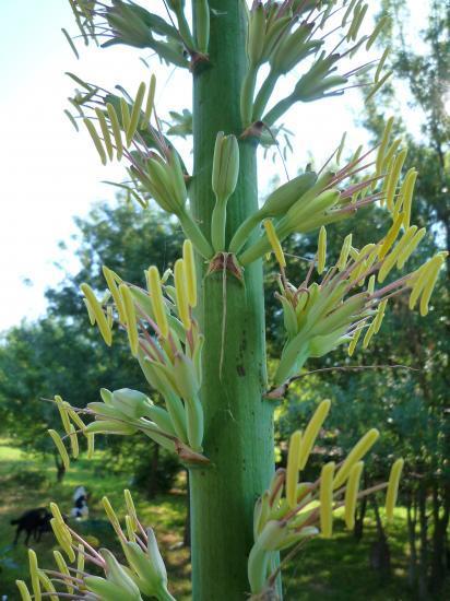 Comment Differencier Un Aloe D Une Agave