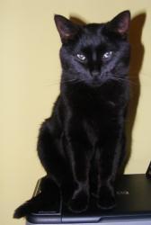 chat noir perdu -Charentes