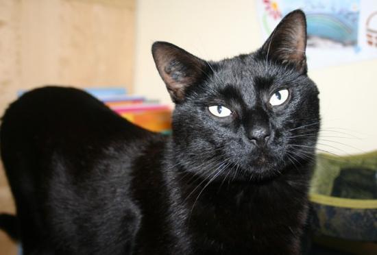 Assez chat noir perdu - département 68 JB58