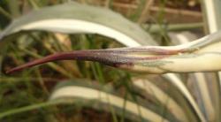 pointe d'agave americana var mediopicta