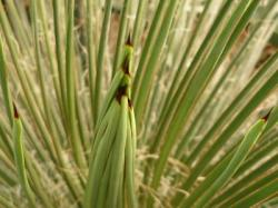 détail d'agave geminiflora
