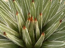 détail d'agave victoria-reginae
