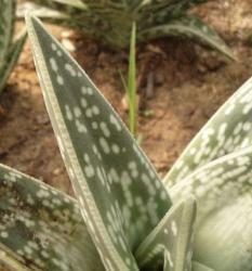 feuille d'aloe variegata