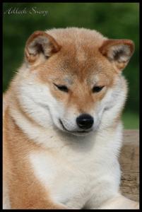 Shiba Inu Natsu Hime