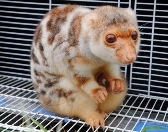 Cryptozoologie cryptozoology Chine nouvelle espèce galago primate bush baby septembre 2011 espèce inconnue Wenling zoo galago
